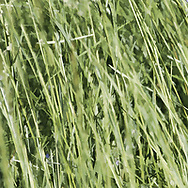 """I enjoy letting grass grow long and watching how it moves with the wind. It's grace is mesmerizing. This image is a creative expression of my appreciation of long grass.<br /> <br /> For IMAGE LICENSING information, click on """"PURCHASE"""" button above, then click """"DOWNLOADS INFO"""", or contact the artist.<br /> <br /> Fine Art archival paper prints for this image as well as canvas, metal and acrylic prints available here:  https://2-julie-weber.pixels.com/featured/loving-long-grass-julie-weber.html<br /> <br /> <br /> GET BACK TO FULL SCREEN VIEWS<br /> https://julieweberphoto.photoshelter.com/index/G0000SXv8Ur32O9s/I0000IamGX6VC3IQ<br /> Then click on expand view icon.<br /> OR...click your browser back arrow"""
