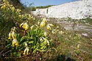 Cowslip, Primula veris, Monkton Nature Reserve, Thanet Countryside Trust, Kent, UK, flower, yellow, chalk cliff,