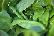 Close up selective focus photograph of some Boston lettuce