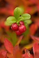 Lingonberry, Vaccinium vitis-idaea, Laponia World Heritage Area, Lapland, Sweden