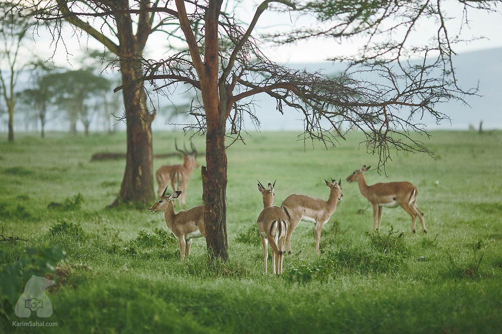 A group of young male impalas (Aepyceros melampus) huddle under a tree during a light rain. Nakuru, Kenya