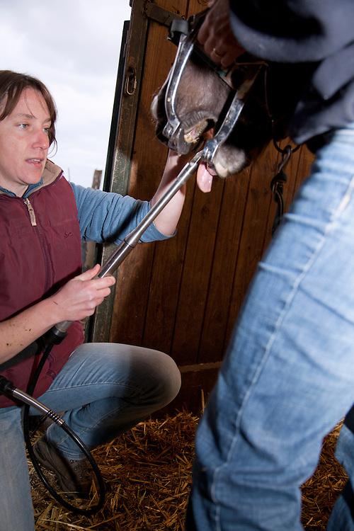 Veterinarian excamening a horse (Eqqus Caballus),  Dental examinations, Auvergne, France