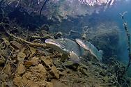 Northern Pike (spawning pair)<br /> <br /> Viktor Vrbovsky/Engbretson Underwater Photography