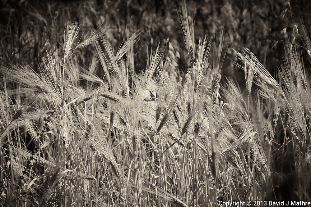 Wheat Field in the Atlas Mountains, Morocco. Semester at Sea, Spring 2013 Enrichment Voyage. Image taken with an Nikon 1 V2 camera and 10-100 mm lens (ISO 160, 72 mm, f/5.6, 1/1000 sec). Raw image processed with Capture One Pro, Focus Magic, and Photoshop CC 2014.
