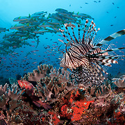 Lionfish patrolling the edge of Suzie's Bommie, a popular dive site accessible from Lololata Island Resort near Port Moresby. This small but healthy reef is always teeming with life, including large schools of sweetlips, thousands of basslets and many other marine organisms. This image is licensed on an exclusive basis to BBC through 29 October 2021.