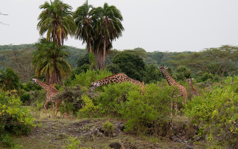Herd of giraffes - Twiga