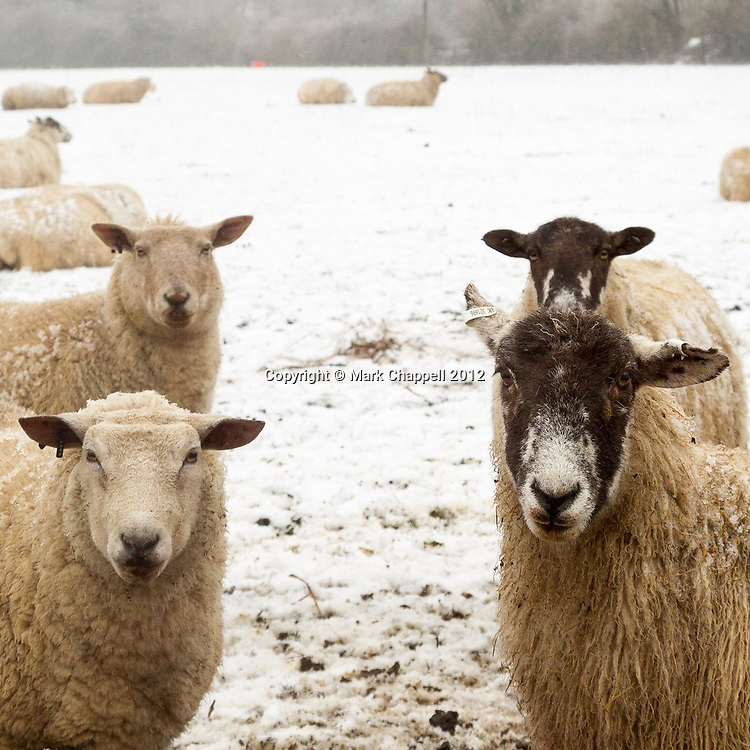 GLOUCESTERSHIRE, UNITED KINGDOM. February 10 2012. Sheep grazing in a field in Hawkesbury Upton after overnight snow. The UK is shivering once again as sub-zero temperatures persist.<br /> Photo Credit: Mark Chappell<br /> © Mark Chappell 2012. All Rights Reserved. See instructions.