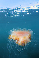 Lion´s mane jellyfish (Cyanea capillata); in the area of the Island of Mull; Scotland. June 2009.<br /> Mission: Basking Sharks<br /> Location: Scotland, off the Island of Mull (Coll and Tiree Islands area) - June 2009