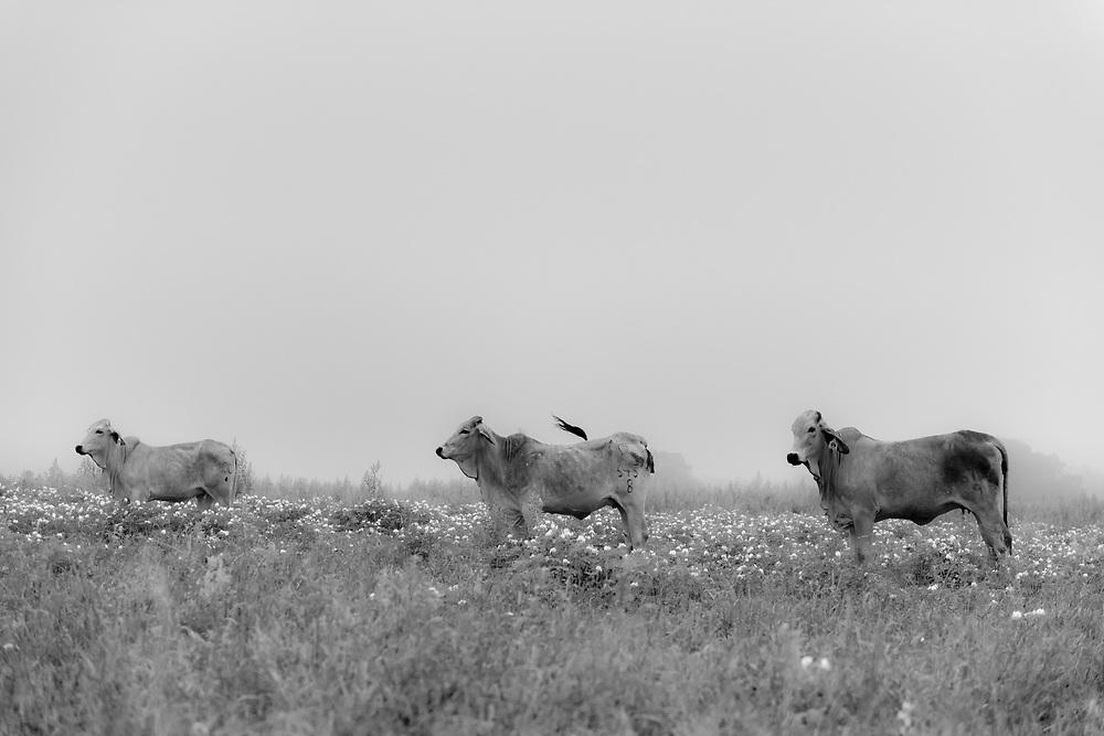 Three brahman cattle on Bar Heart Ranch, Texas.