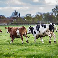 Nederland, Baambrugge, 23 april 2016.<br /> koopeenkoe.nl, een duurzaam bedrijf, waar je online SAMEN een koe kan kopen. Het vleespakket wordt pas opgestuurd als de hele koe verkocht is. Op het terrein is een boerderij, slagerij, etc. <br /> Initiatiefnemer is Yvo van Rijen.<br /> Op de foto: De koeien mogen weer voor de eerste keer naar buiten en dartelen op het gras.<br /> <br /> <br /> Netherlands, Baambrugge, April 23, 2016<br /> koopeenkoe.nl, a sustainable business where you can buy a cow TOGETHER online. The meat packet will only be sent once the whole cow has been sold. On the property there is a farm and a butcher. Initiator is Yvo van Rijen.<br /> In the photo: Cows frolicing out on the grass.<br /> <br /> Foto: Jean-Pierre Jans
