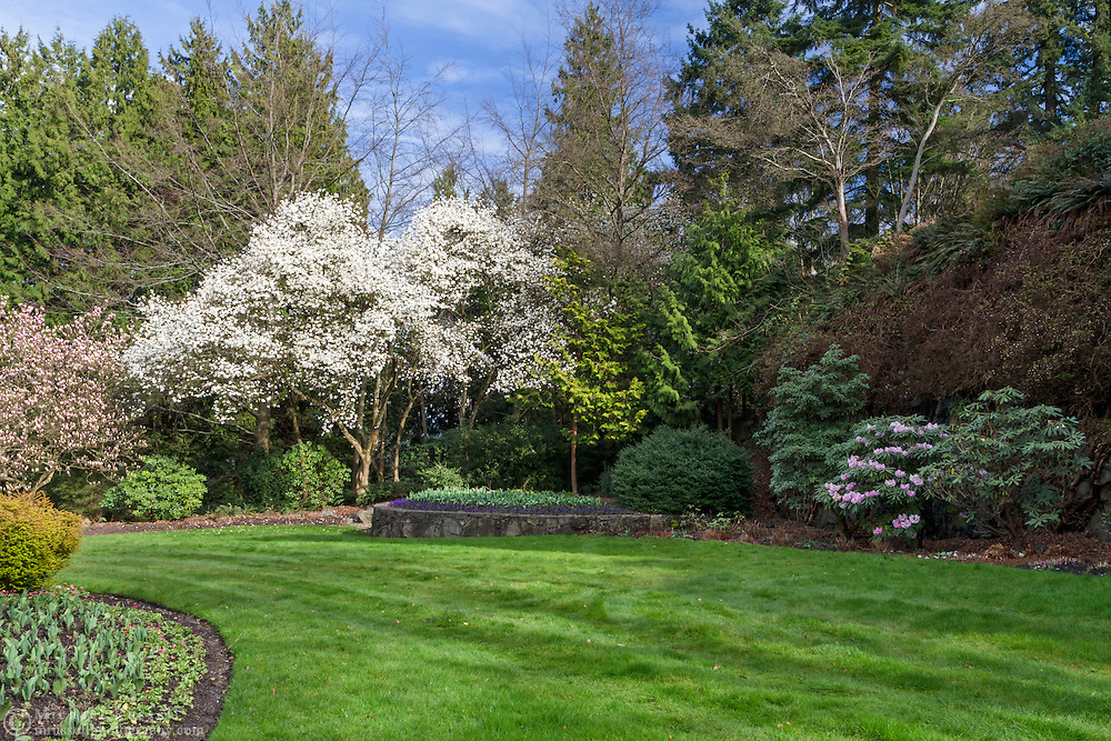 Star Magnolia and Rhododendrons blooming in the North Quarry Gardens in Queen Elizabeth Park, Vancouver, British Columbia, Canada