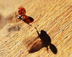 Ladybug taking off into flight