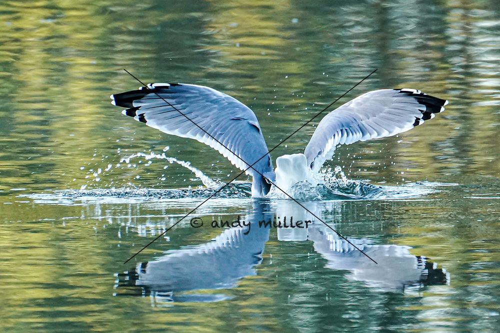 12.10.2019; Zufikon; <br /> Eine Mittelmeermoeve im Flachsee <br /> (Andy Mueller/freshfocus)