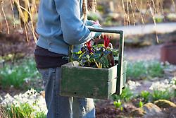Carol Klein carrying trug of Trillium chloropetalum ready to plant out