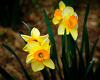 Daffodil Blooms. Image taken with a Fuji X-H1 camera and 80 mm f/2.8 macro lens