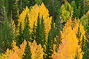 Fall aspens and pines along Bishop Creek, Inyo National Forest, Sierra Nevada Mountains, California USA