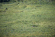 A coyote hides in a dip in a meadow while it is out hunting.