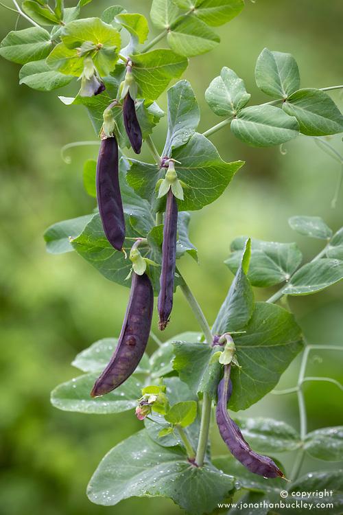 Pea 'Shiraz' (Mangetout). Pisum sativum var. saccharatum