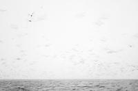 Herring gull, Larus argentatus, Lofoten, Norway