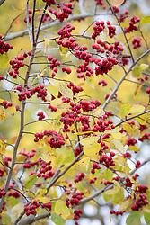 Crataegus persimilis 'Prunifolia Splendens'. Cockspur thorn