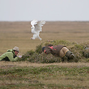 Denver Holt and  assistant Palo Olivas checking a snowy owl nest and being attacked by a tenacious male  on the north slope in Alaska.