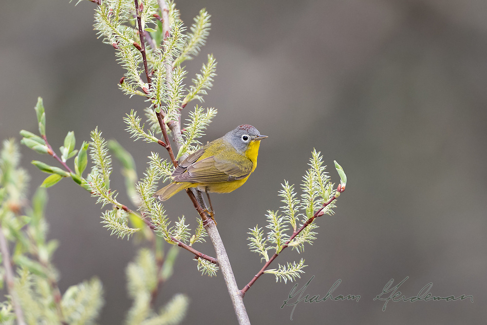 Nashville Warbler (male) - despite the name, Nashville Warblers don't actually spend summers or winters anywhere near Nashville! But they do pass through in good numbers during migration.