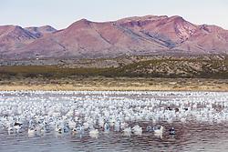 Bosque del Apache National Wildlife Refuge, New Mexico, USA