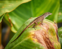 Lizard on a Banana leaf. Image taken with a Nikon 1 V3 camera and 70-300 mm VR lens (ISO 400, 124 mm, f/5, 1/250 sec).