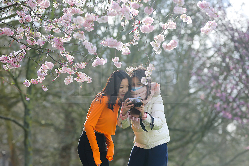 © Licensed to London News Pictures. 11/03/2020. London, UK. Women view the photograph on the back of a camera under the Cherry tree in St James's Park as it starts to bloom. Photo credit: Dinendra Haria/LNP