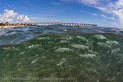 A school of Striped Mullet, Mugil cephalus, swims near the Juno Beach Pier in Palm Beach County, Florida, during the annual mullet migration in early fall.