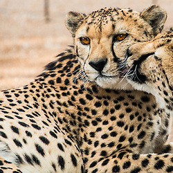 Cheetah, Namabia