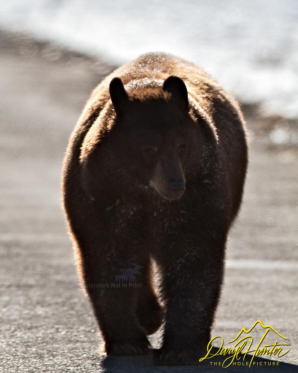 Black Bear, Waterton lakes Natinal Park