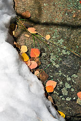 Aspen Leaves in Snow - Summit County, Colorado Rocky Mountains.