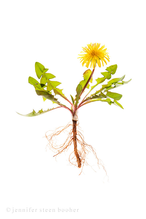 Common Dandelion with root (Taraxacum officinale) on white background.