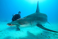 Great Hammerhead and Diver<br /> <br /> Shot in Bahamas