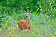 Whitetail deer (Odocoileus virginianus) at edge of forest<br /> Ear Falls<br /> Ontario<br /> Canada