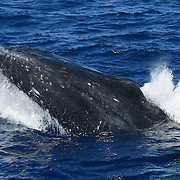 Humpback whale (Megaptera novaeangliae) surfacing to take a breath, expelling air from its lungs and sending a spray of water and bubbles from its nostrils on top of its head. This was one of several whales engaged in a heat run.