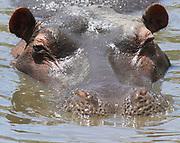 A common hippopotamus (Hippopotamus amphibius) closes its nostrils in preparation for putting its head under water. Serengeti National Park, Tanzania.