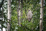 JÄMTLAND 2100622<br /> Stötte på en lappuggla som spanade under en naturtur i skogarna utanför Östersund.<br /> Foto: Per Danielsson/Projekt.P