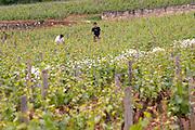 working the soil in the vineyard le montrachet puligny-montrachet cote de beaune burgundy france