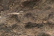 Pauraque (Nyctidromus albicollis)<br /> Rainforest<br /> Rewa River<br /> Iwokrama Reserve<br /> GAYANA. South America