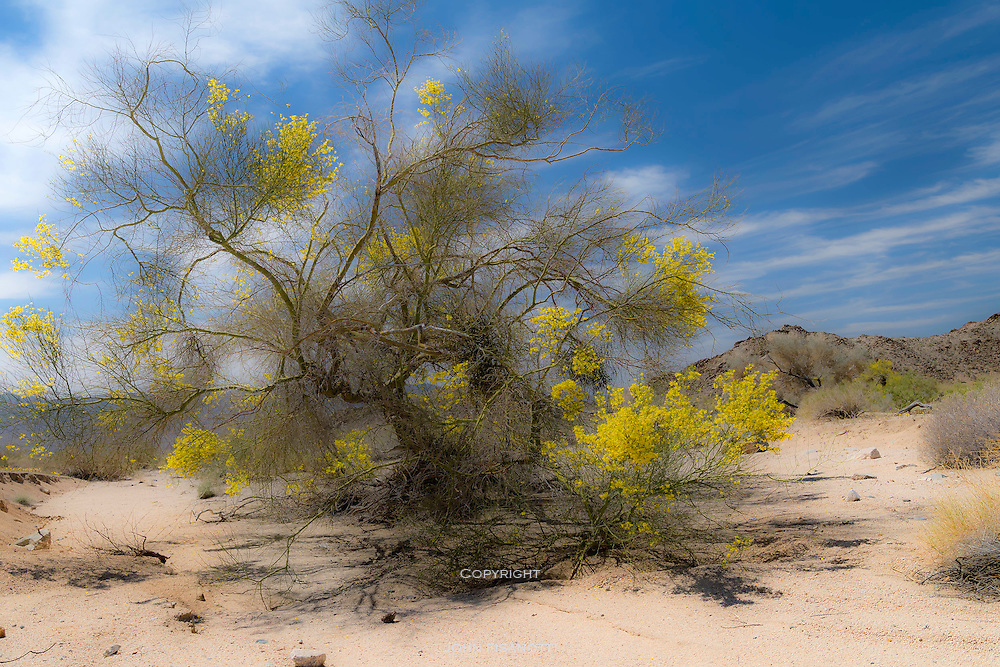 Springtime view of a Palo Verde tree in Cottonwood Canyon, Joshua Tree National Park, California