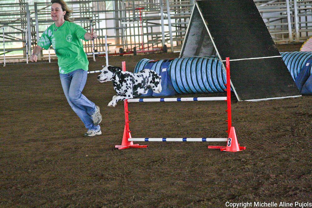 Dalmatian dog jumping at agility trials.