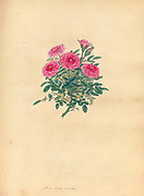 ROSA nana, minima, Smallest Dwarf, or True Pompone Rose From the book Roses, or, A monograph of the genus Rosa : containing coloured figures of all the known species and beautiful varieties, drawn, engraved, described, and coloured, from living plants. by Andrews, Henry Charles, Published in London : printed by R. Taylor and Co. ; 1805.