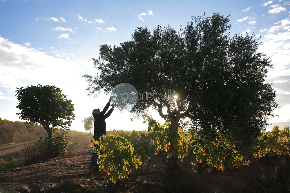 Recoleccion de olivas. LA Rioja ©Daniel Acevedo / PILAR REVILLA