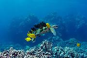 green sea turtle, or honu, Chelonia mydas ( Threatened Species ), being cleaned by yellow tangs, Zebrasoma flavescens, and goldring surgeonfish, spotted bristletooth, or kole, Ctenochaetus strigosus, Kona Coast, Hawaii Island ( the Big Island ), Hawaiian Islands, U.S.A. ( Central Pacific Ocean )