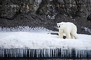 A polar bear (Ursus maritimus) walking along an icy edge of  shore lined with icicles, Spitsbergen, Svalbard, Norway