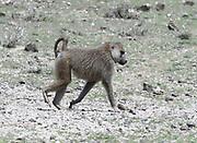 A Savanna Baboon (Papio cyncephalus) moves across dry stoney ground. Sinya Wildlife Management Area, Tanzania.