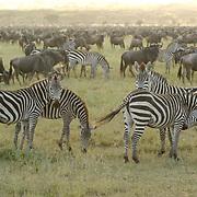Burchell's Zebra (Equus burchelli) During migration in Serengeti National Park, more than 200,000 zebras migrate along side one million Blue Wildebeest (Connochaetes taurinus) and 300,000 Thomson's gazelle(Gazella thomsoni). Tanzania. Africa. February.