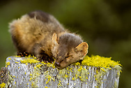 Marten sleeping on mossy tree stump. [This animal was born and raised in captivity, photographed in an outdoor setting in Montana.] © David A. Ponton